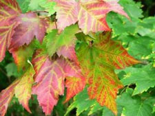 Autumn owes its bright colors to red, gold, and apricot maple leaves.
