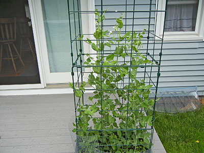 Tomato Success Kit with peas
