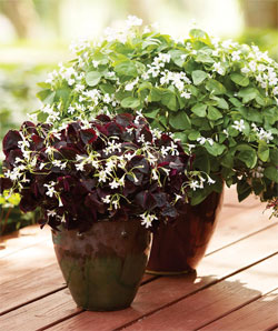 Oxalis instead of impatiens