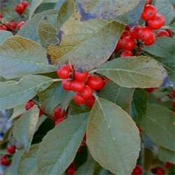Wildfire Winterberry Bush